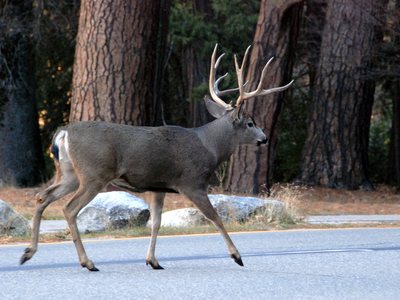A mule deer walks down the road in Yosemite Valley