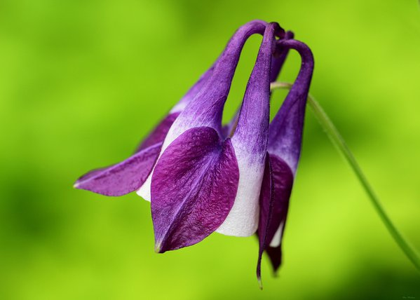 Columbine Wildflower  thumbnail