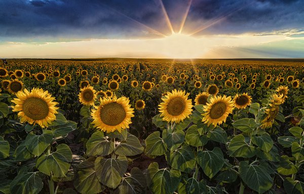 Thousands of Sunflower Faces thumbnail