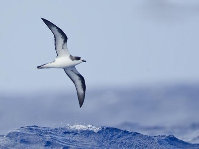 Scientists studying the bones of the Hawaiian petrel, which flies great distances over the north Pacific Ocean to feed, are collecting an invaluable long-term story dating from thousands of years ago.