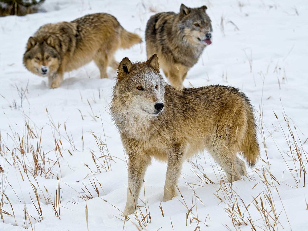 Gray Wolves in Montana