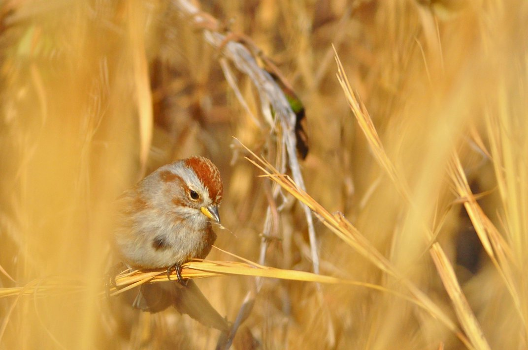 A small bird, called an American tree sparrow, perched on a piece of tall grass eating seeds
