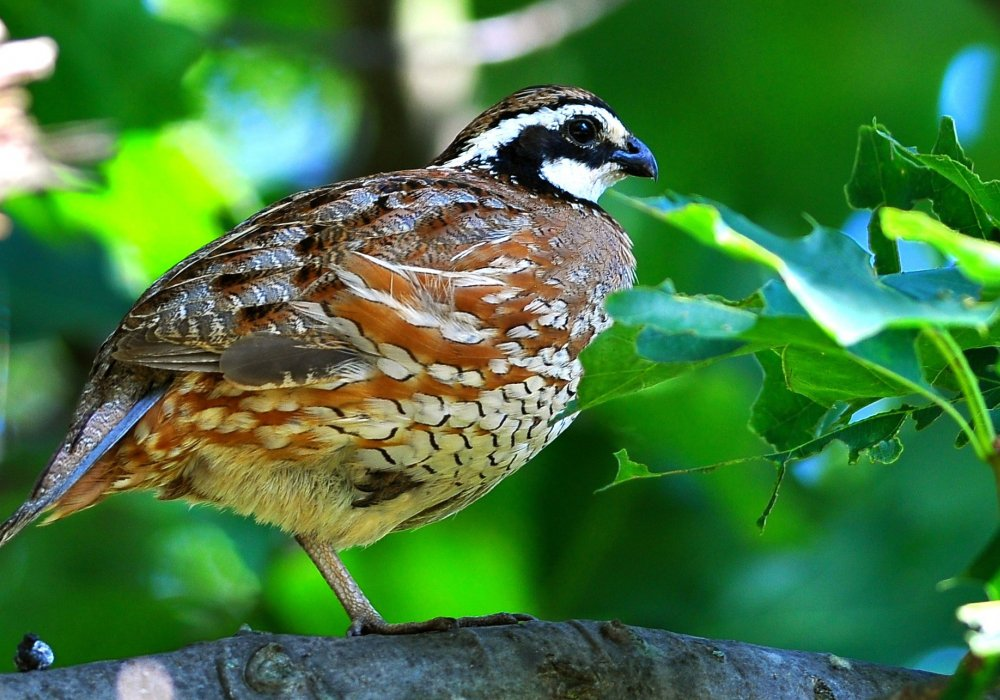 Forty years ago, the distinctive call of the bobwhite quail could be heard throughout Virginia's grasslands. Today, their calls are fading.