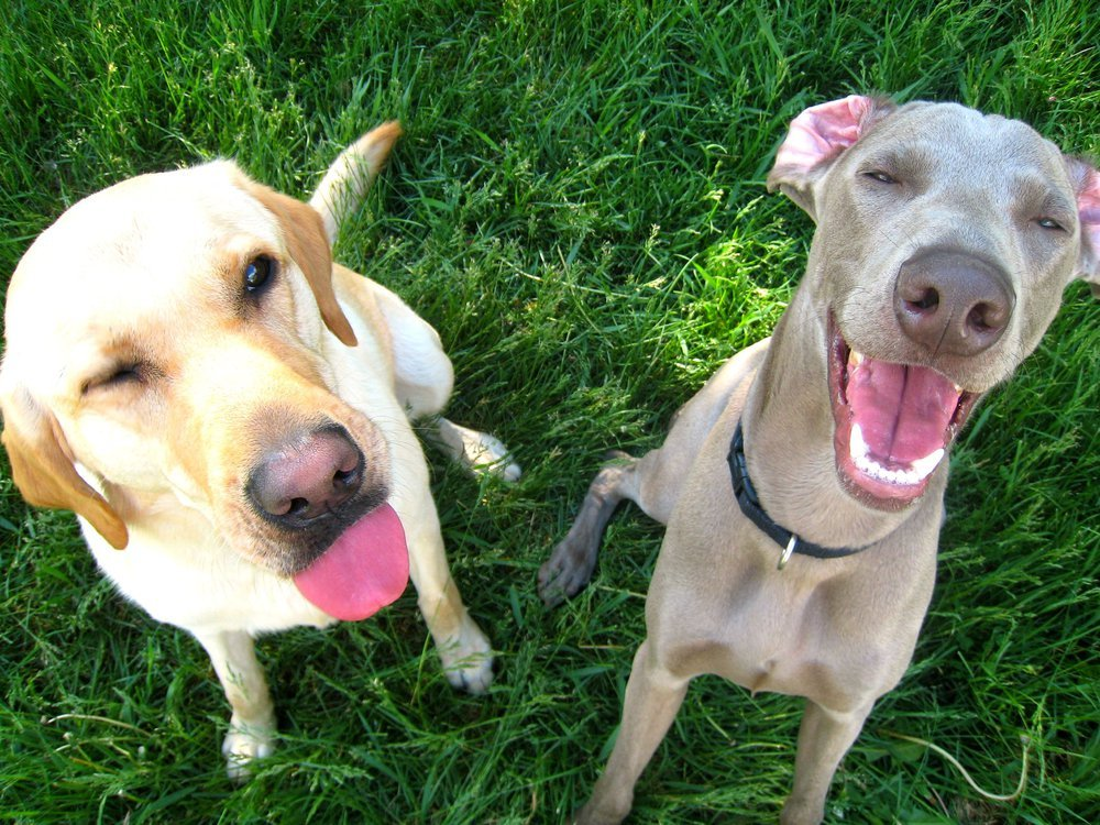 Two dogs—a yellow lab on the left and Weimaraner on the right—sit in grass with their tongues out and mouths agape facing the camera.