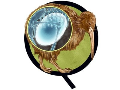 The North Island brown kiwi is a flightless, nocturnal bird that lays the biggest egg relative to its body size.