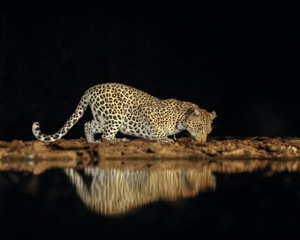 Leopard scent marking thumbnail