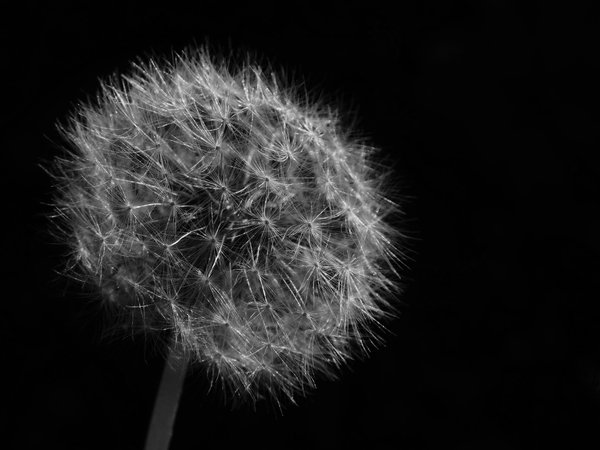 dandelion in sofia thumbnail