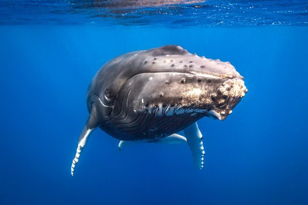 Eye Contact with Adult Humpback Whale thumbnail
