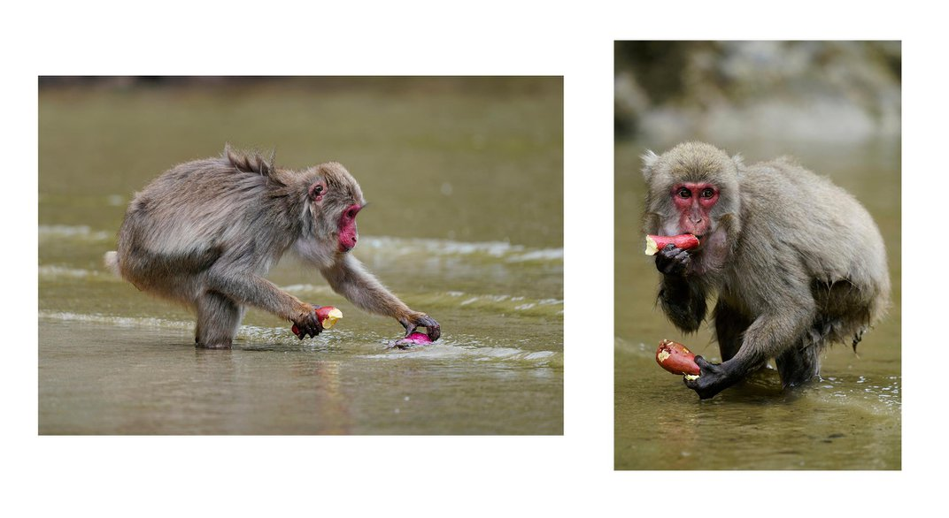 What Japan's Wild Snow Monkeys Can Teach Us About Animal Culture