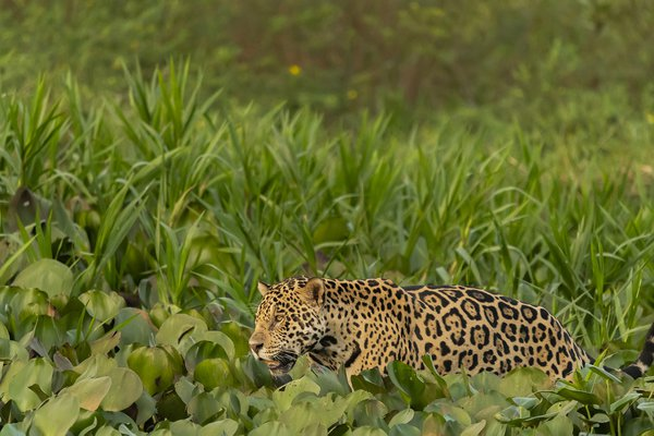 Jaguar hunting along river thumbnail