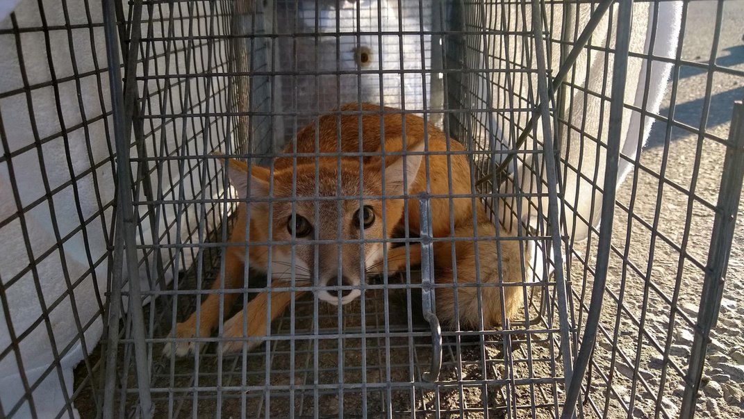 A small swift fox crouches in a live box trap, which is covered in a white sheet to help keep the fox calm.