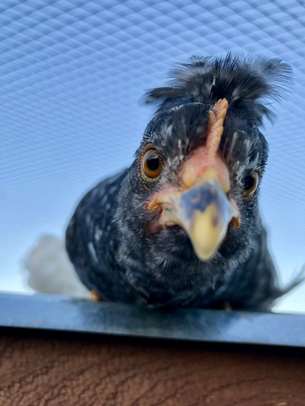 Curious Chick on the Roof.  thumbnail