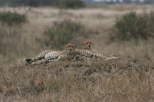 Chilling cheetah brothers in Ngorongoro Crater thumbnail