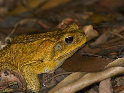 A cane toad (Rhinella marina) at Fogg Dam Conservation Reserve, Northern Territory, Australia.