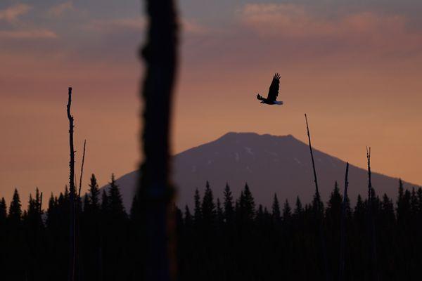 Bald Eagle at Sunrise thumbnail