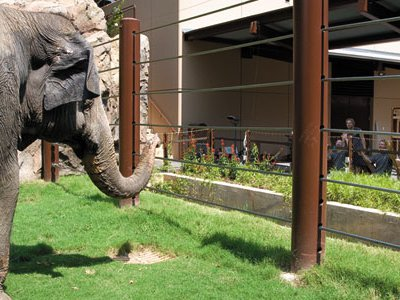 Shanthi, a 34-year-old female, checks out the Zoo's new digs for Asian elephants.