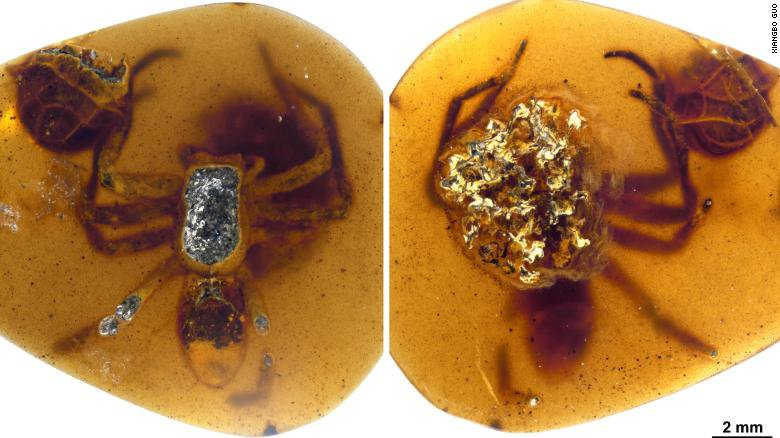 In one piece of fossilized amber, a female spider was astonishingly preserved, clutching an egg sac filled with spiderling embryos nearly ready to hatch