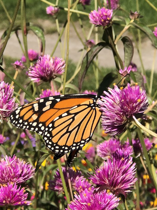 Last of the migrating monarchs thumbnail