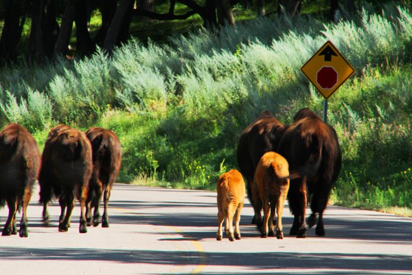 Bison Traffic thumbnail