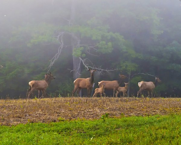 Elk Family on Foggy Morning thumbnail