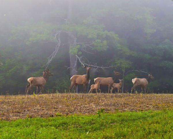 Elk Family on Foggy Morning thumbnail