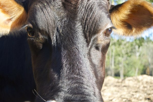 Up close to a cow thumbnail