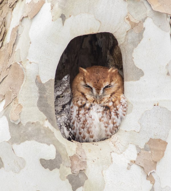 Screech Owls staying cozy thumbnail