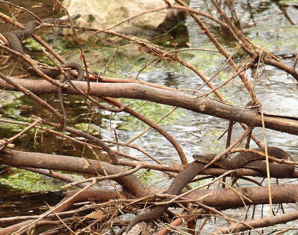 Common Water Snake thumbnail