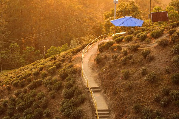 A tea estate in Ilam,nepal during sunset. thumbnail