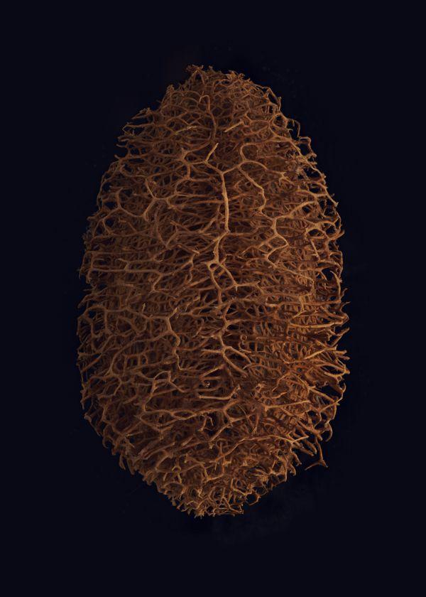 Sponge Gourd (Luffa sepium) thumbnail