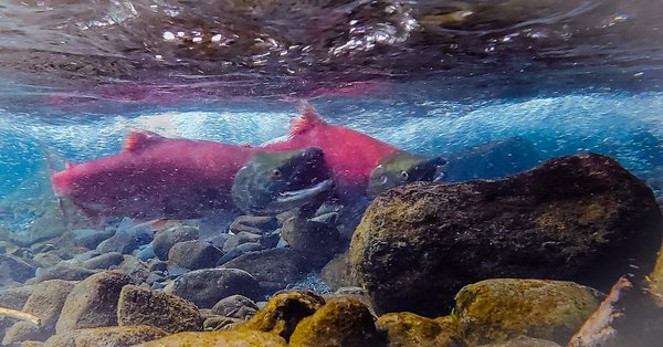 Red salmon charging up rapid current thumbnail
