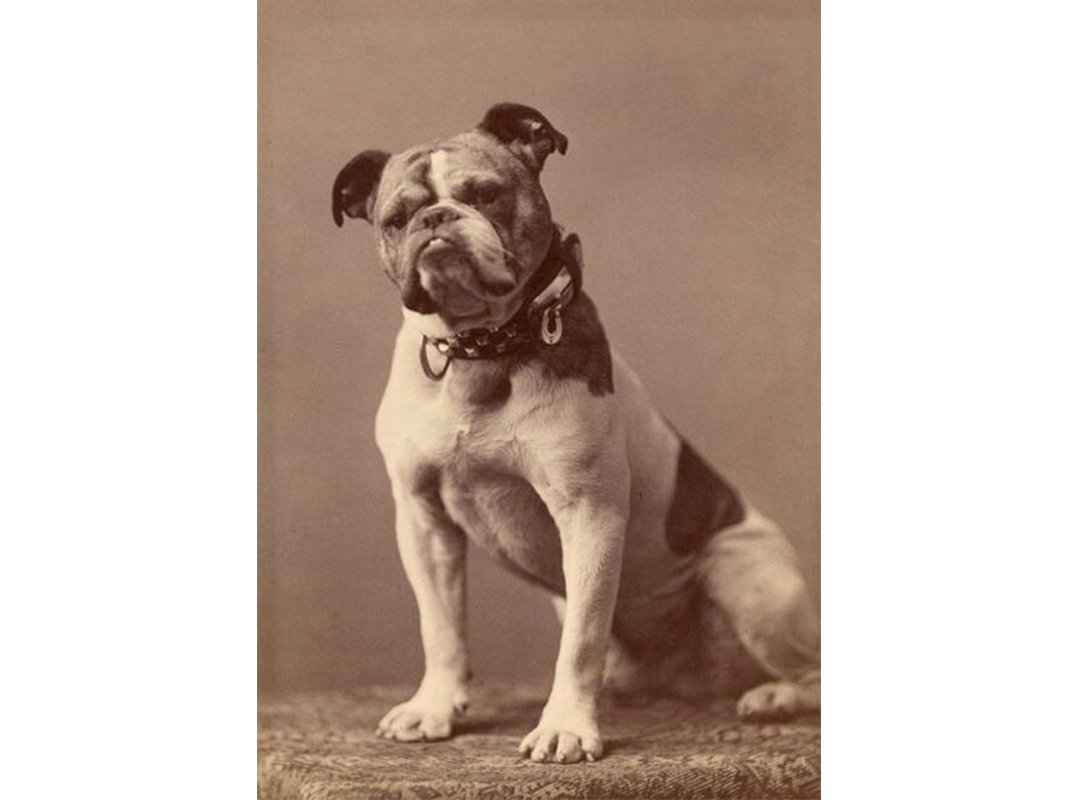 Bulldogs Are Dangerously Unhealthy, But There May Not Be Enough Diversity in Their Genes to Save Them