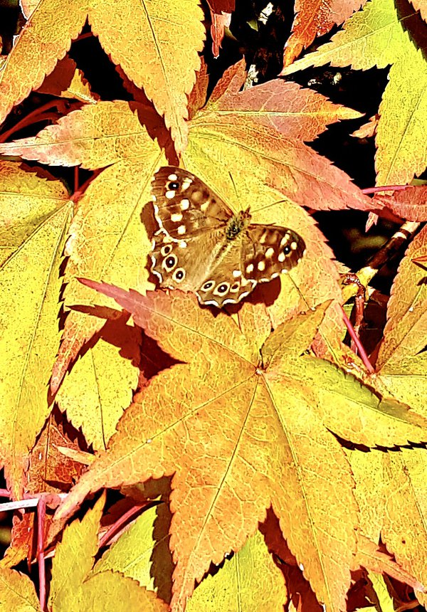 A late butterfly in autumn leaves thumbnail