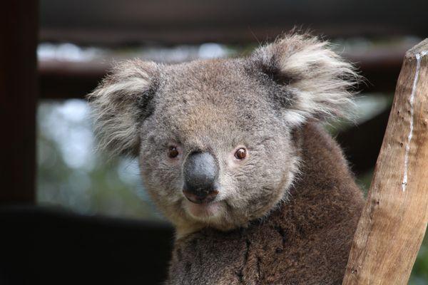Koala thumbnail