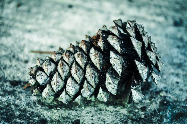 Tiny pine cone at the Chattahoochee River in Atlanta GA thumbnail