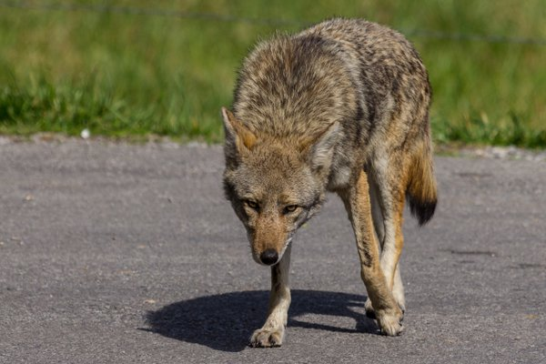 Curious Coyote thumbnail