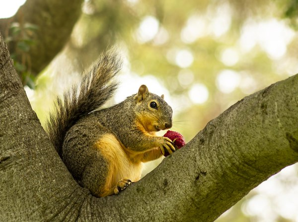 A squirrel nibbling on a strawberry. thumbnail