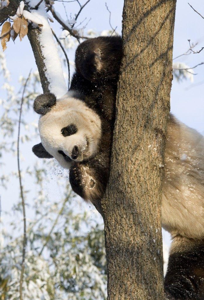 How Does Science Help Pandas Make More Panda Babies?