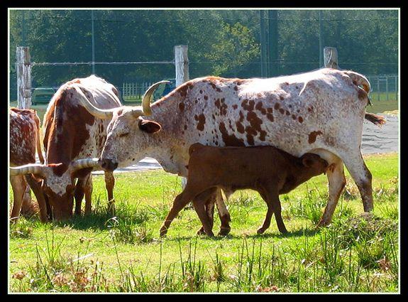 Longhorn cattle in Houston, Texas.