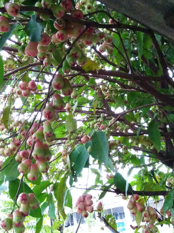 Pink bell fruit in the middle of ripened process thumbnail
