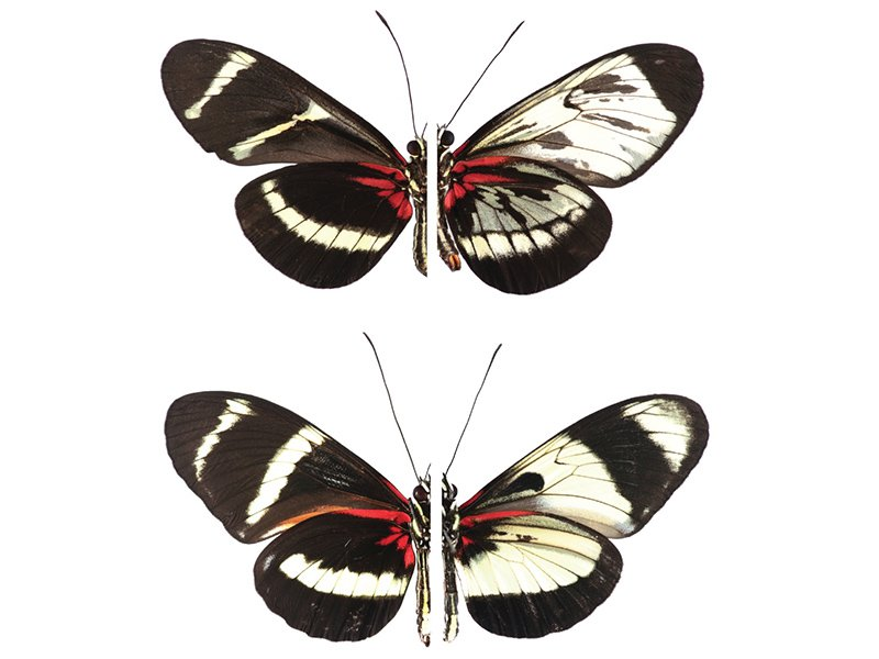 What Butterflies' Colorful Wing Patterns Can Teach Us About Evolution