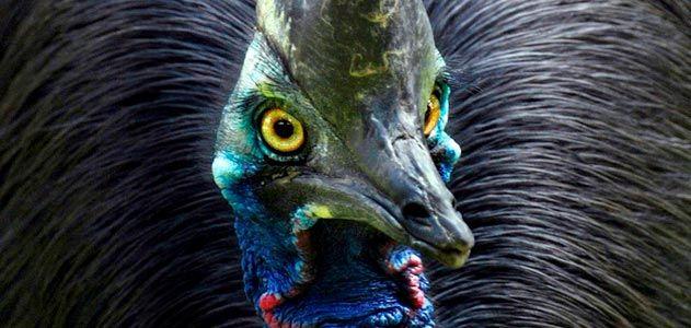 Cassowary bird at Lahore Zoo