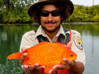 A 14-inch goldfish caught downstream of a wastewater treatment plant in the Black Rock Canal of New York's Niagara River