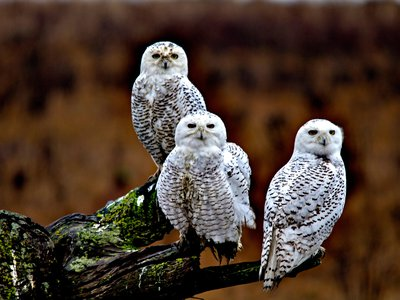 Snowy owls may be a nice surprise in more Southerly climes, but these charismatic birds are also at risk.