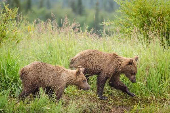 Grizzly Bear Siblings  thumbnail