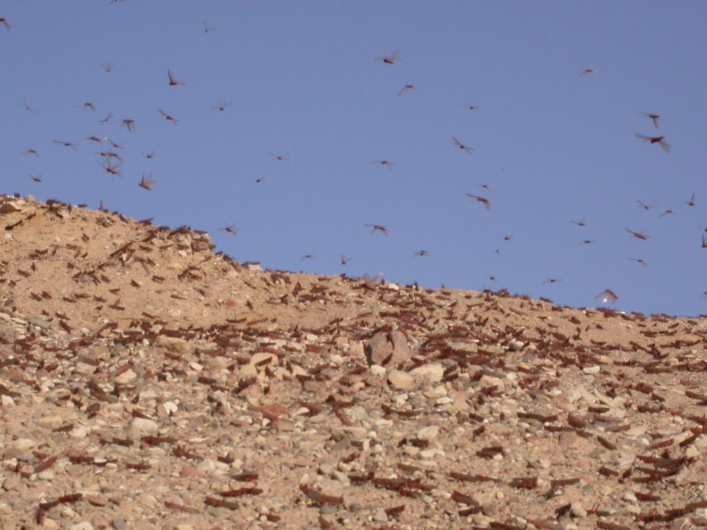 A Plague of Locusts Descends Upon the Holy Land, Just in Time for Passover
