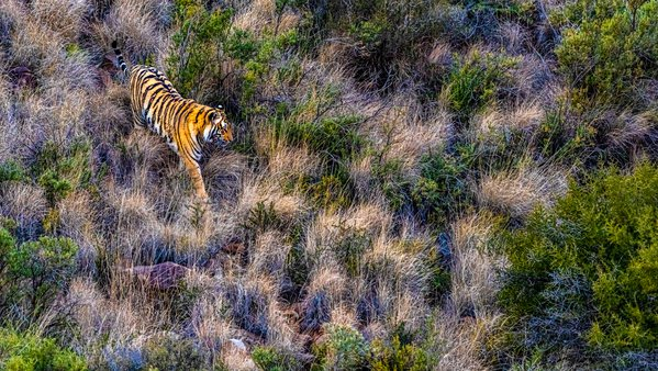 Tiger in the veld thumbnail
