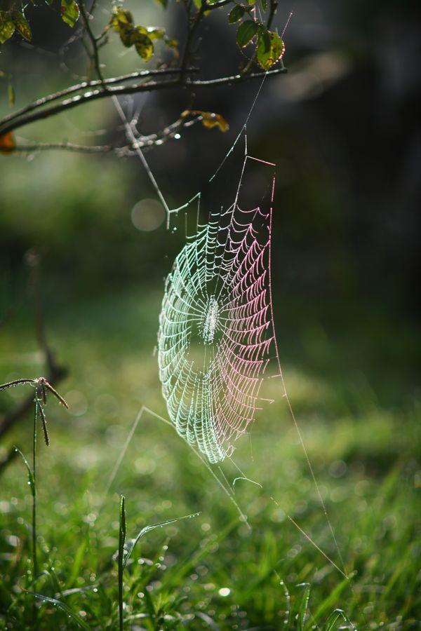 Spider web at dawn thumbnail