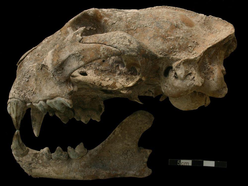 Puma Skull