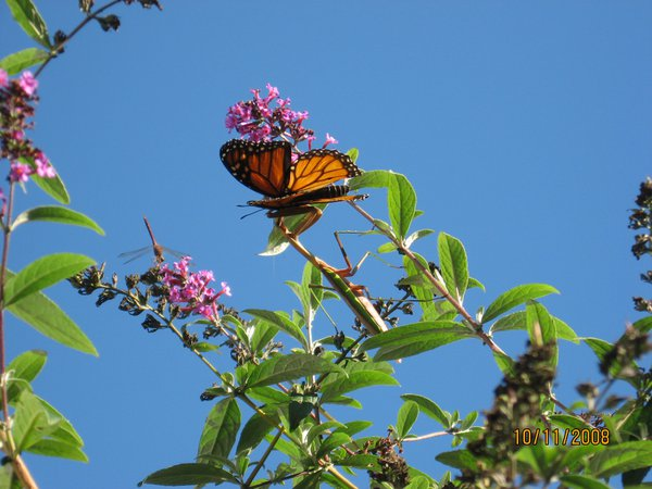 Monarch butterfly enjoying a meal, becomes a meal for a Preying Mantis, while a dragonfly looks on. thumbnail